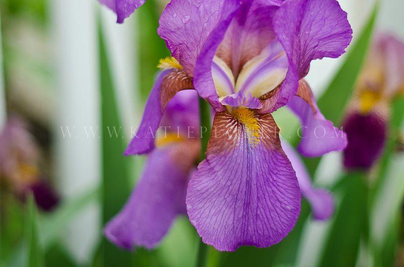 Iris-13-Edit